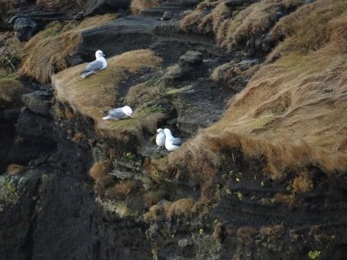 South Coast of Iceland birds