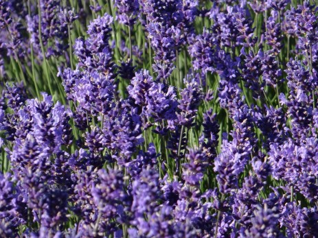 Hitchin Lavender flowers