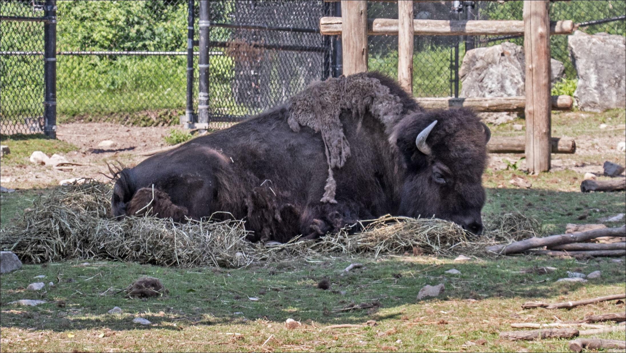 Shaggy Bison