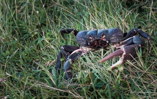 Crabe terrestre sur l'île Dominique