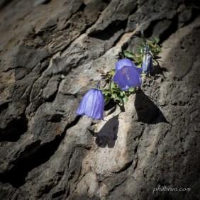 Jolie fleur de paroi