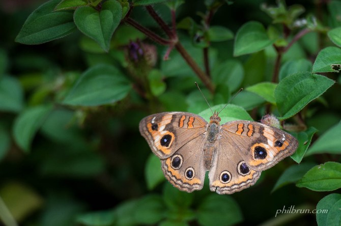 Papillon sur lîle Dominique