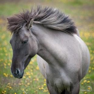Un très beau cheval Islandais. C'est à sa vue que je me suis arrêté pour l'admirer !