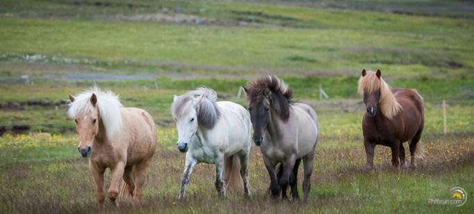 Les chevaux accourent dans le prés car le pain les attire !