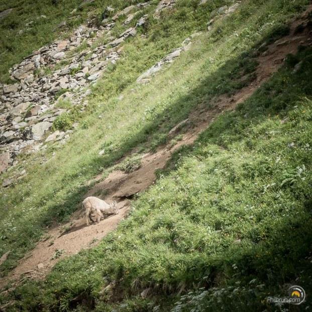 Ce chamois n'était pas farouche. Il n'a pas bouger à notre passage, tout à son affaire !