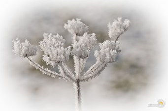 Fleur de givre
