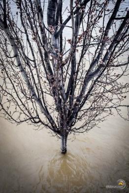 Un arbre qui bourgeonne avec les pieds dans l'eau...Saison difficile !