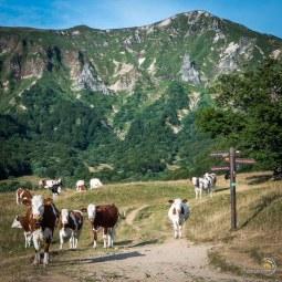 Les vaches sont à la croisée des chemins de la vallée de Chaudefour