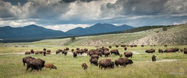 Une plaine à perte de vue et partout, jusqu'à la limite de la vue, des bisons !