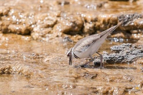 Un oiseau s'abreuvant dans les vasques de Mammoth hot spring