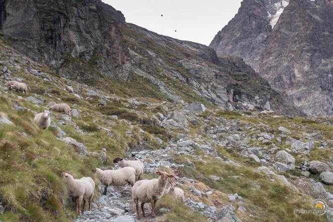 Les moutons nous accueillent au début de la montée