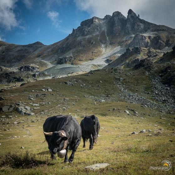 Vaches noires de montagne