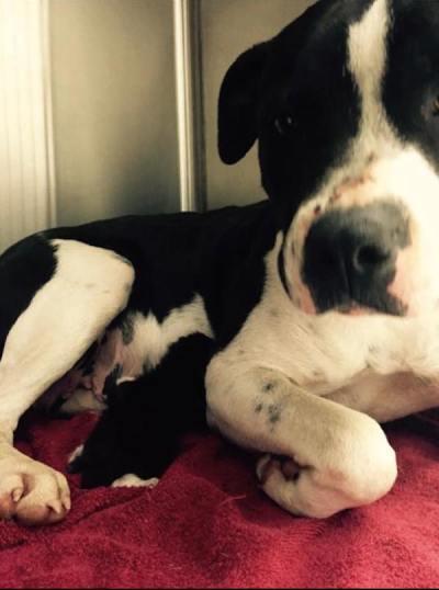 Stray Pit Bull Found Nursing Kitten