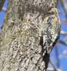 camouflage of yellow bellied sapsucker
