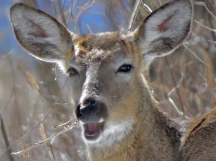 deer in woods near t with mouth open