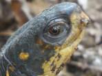 EM female box turtle