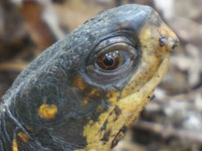 EM female box turtle