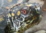 EM male box turtle 2