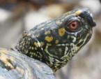 EM male box turtle