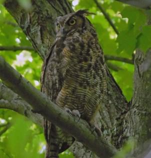 Great Horned Owl Sept 12 2015