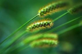 L'herbe chevelue