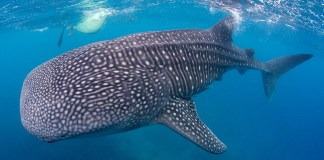 oslob, whales, dangerous, marinas, philippines