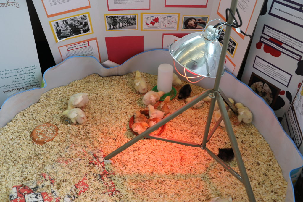 The chicks will live on Stephanie Cormier's farm following the experiment.