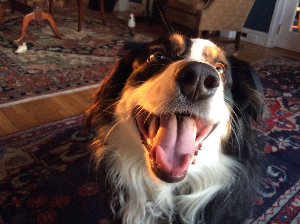 Sadie is a five-year-old Australian Shepherd from Burlington, Vt. She enjoys carrots and spending time with her owner, Zora Stewart '19.