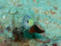 Firetail Goby,Rainbow Reef, Somosomo Strait, Fiji, April 2013