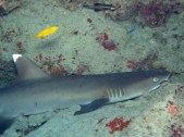 Whitetip reef shark; This shark was resting in a small cave, they don't usually let you get this close.
