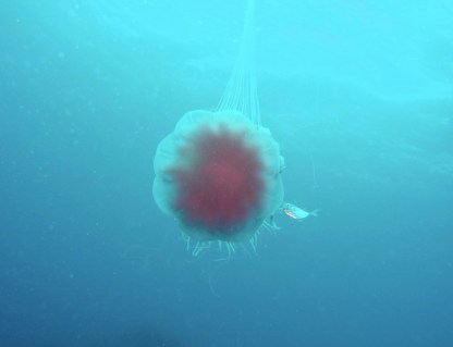 Lion's mane, lion's mane jellyfish are amoung the biggest of the jellyfishes. This one however was only about 15cm in diameter.