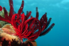 Feather star, Cabilao, Philippines