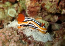 Magnificent Chromodoris, Cabilao, Philippines