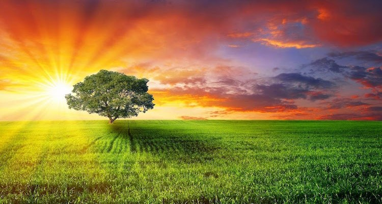 Tree in field at sunset
