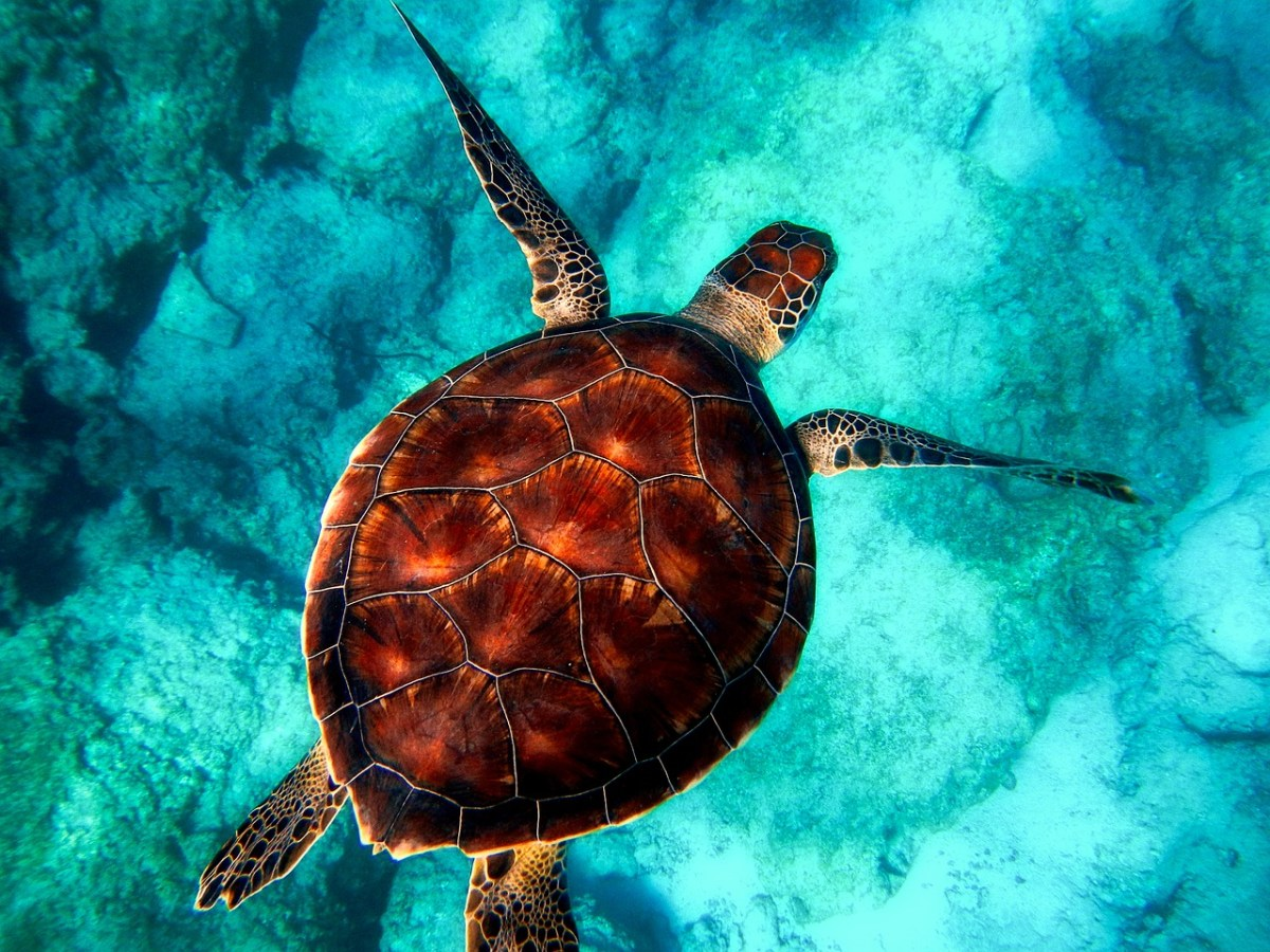 Scientists Find Harmful Microplastics in 100% of Wild Sea Turtles