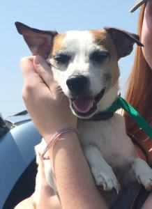 Buster, a Jack Russell terrier, at a rest stop during a transport.
