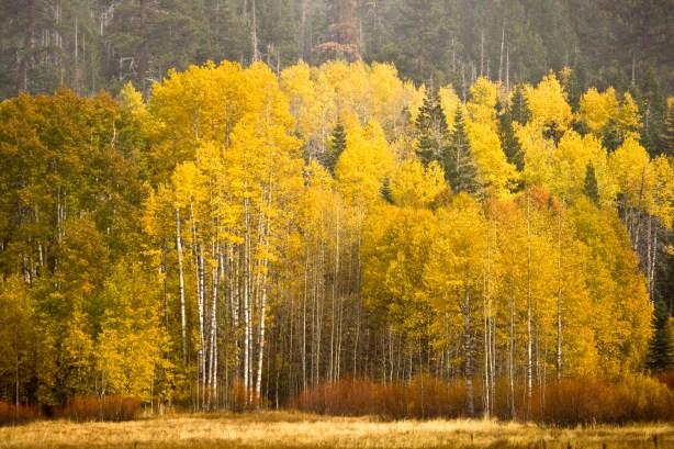 Aspens in Tahoe - 11-775