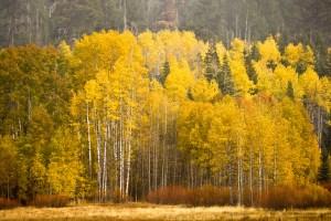 fall aspens at lake tahoe