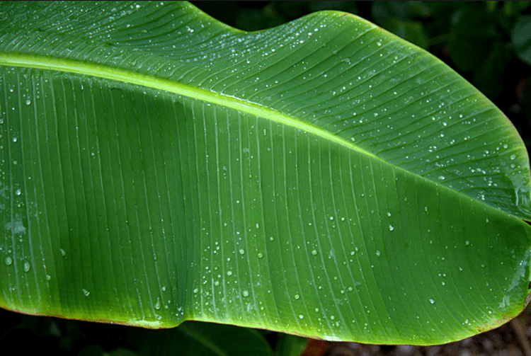Obtain Healthy Immune System By Eating On A Banana Leaf