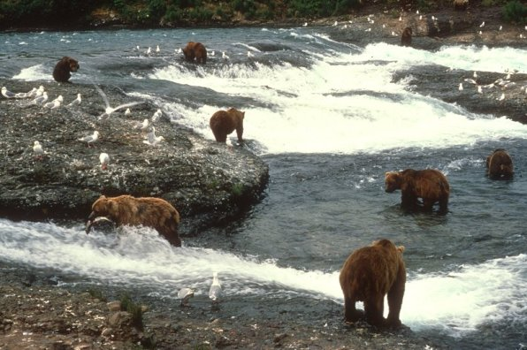 5810-grizzlies_fishing-mcneil