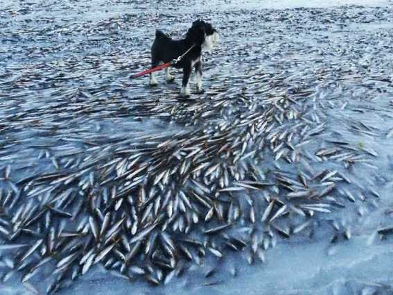 a-norwegian-bay-was-so-cold-that-thousands-of-fish-were-flash-frozen
