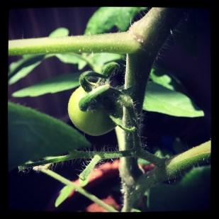 Tomato watch