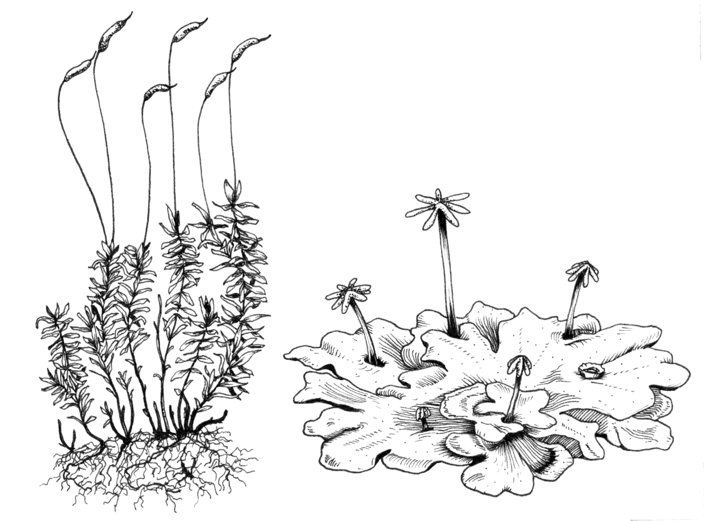Moss Plant Labeled Diagram Sketch Coloring Page