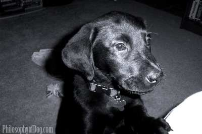 Jet as a Young Puppy - Copyright PhilosophyofDog.com 2017