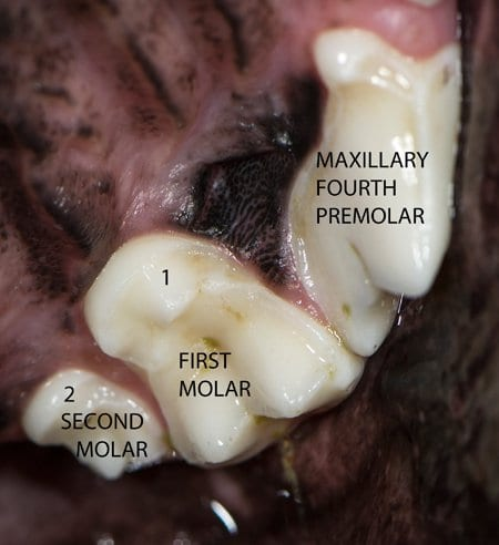 Dog Molars