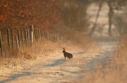 hare in Nov 2