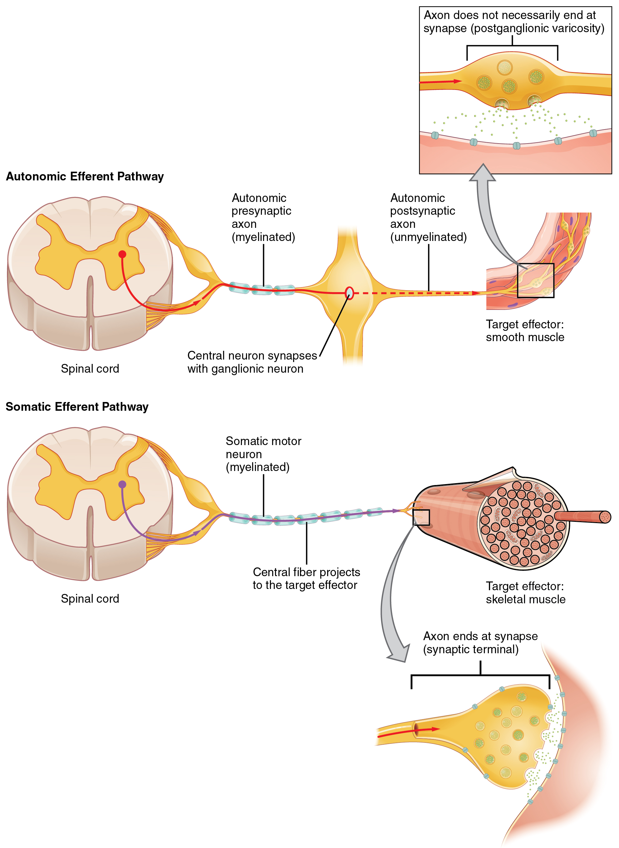 Autonomic Reflexes And Homeostasis Anatomy And Physiology