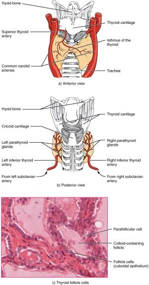 The Thyroid Gland · Anatomy and Physiology
