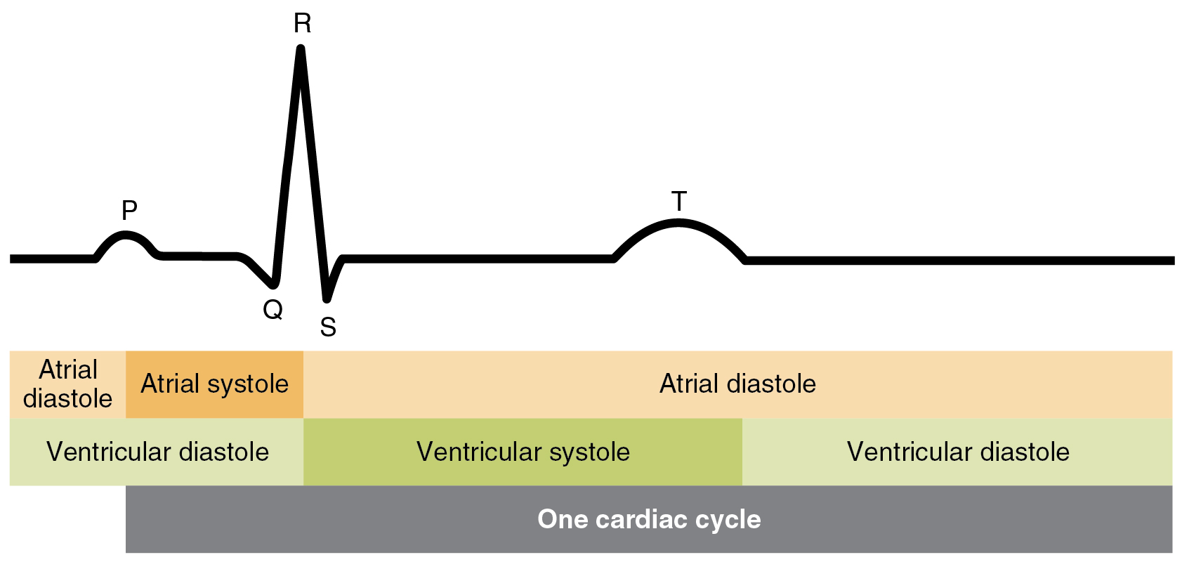 Cardiac Cycle Anatomy And Physiology