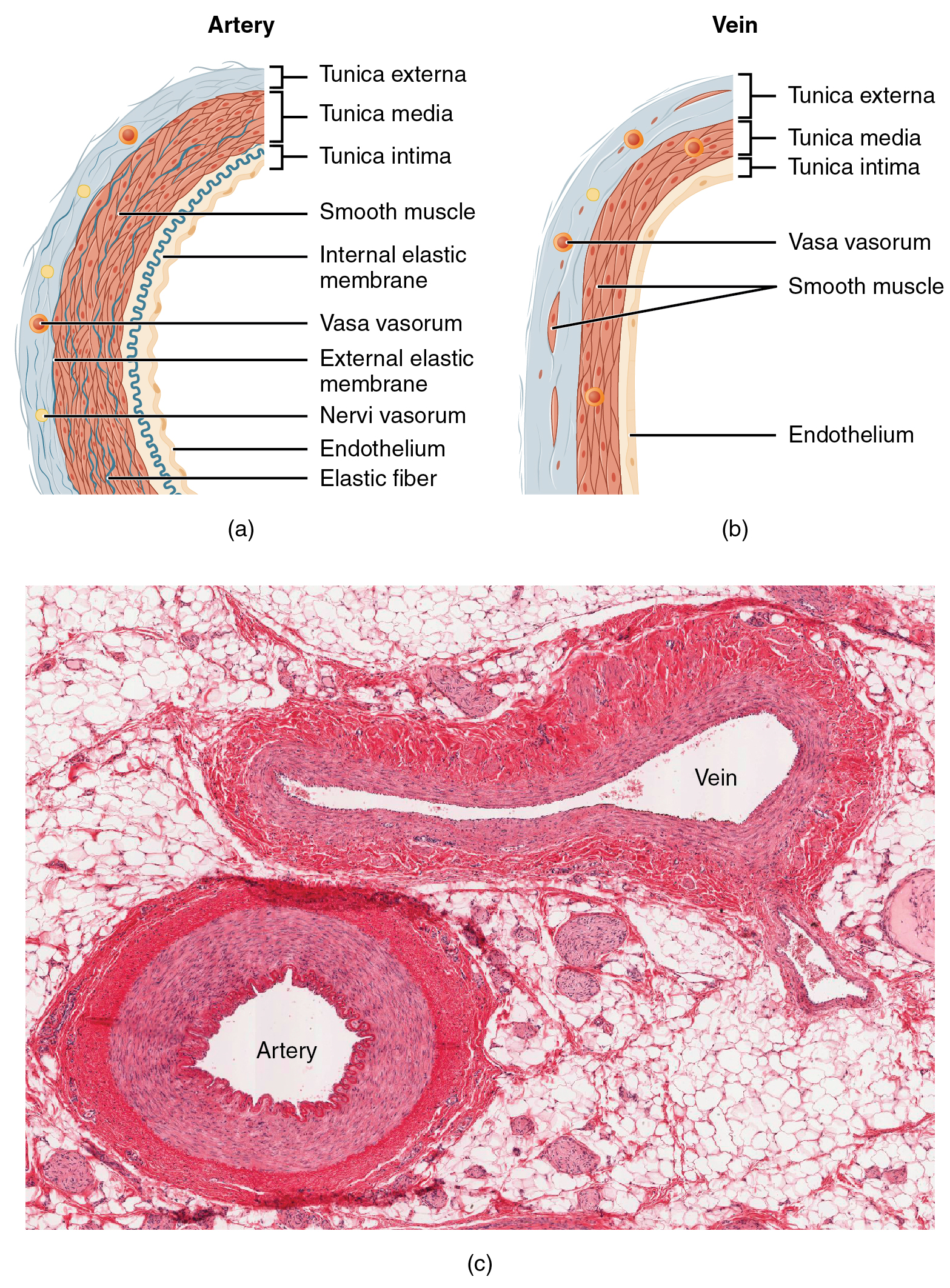 Structure And Function Of Blood Vessels Anatomy And